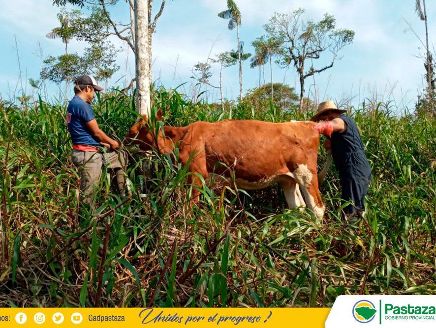 El mejoramiento del ganado vacuno es nuestra prioridad.