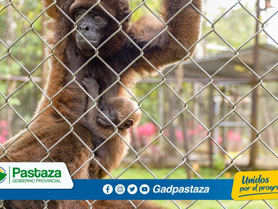 ¡Un bebé Chorongo nació en el Centro de Rescate y Rehabilitación Pastaza Selva Viva!