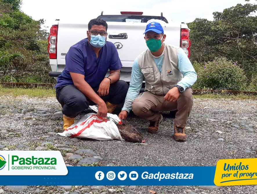 Seis Pecaris  en mal estado de salud fueron recibidos en El Centro de Rescate y Rehabilitación Pastaza Selva Viva