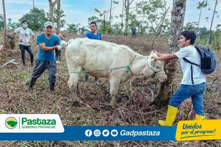 La Prefectura de Pastaza capacita a ganaderos en inseminación artificial