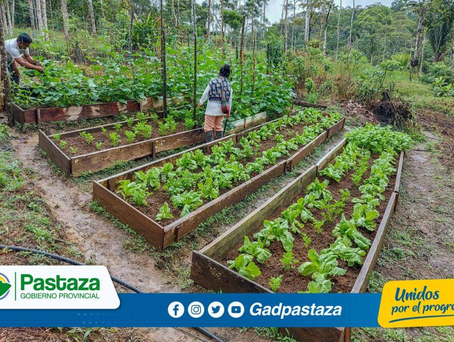 ¡En la parroquia El Triunfo se inició la cosecha de hortalizas !