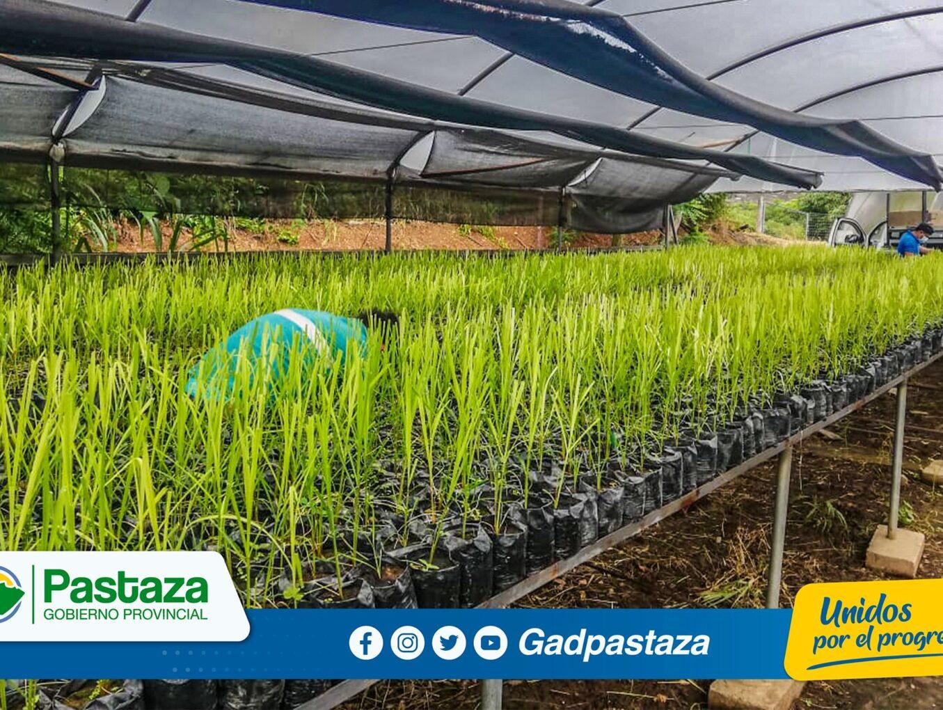 Entregamos plantas de caña meristemática en las parroquias Veracruz y Tarqui.