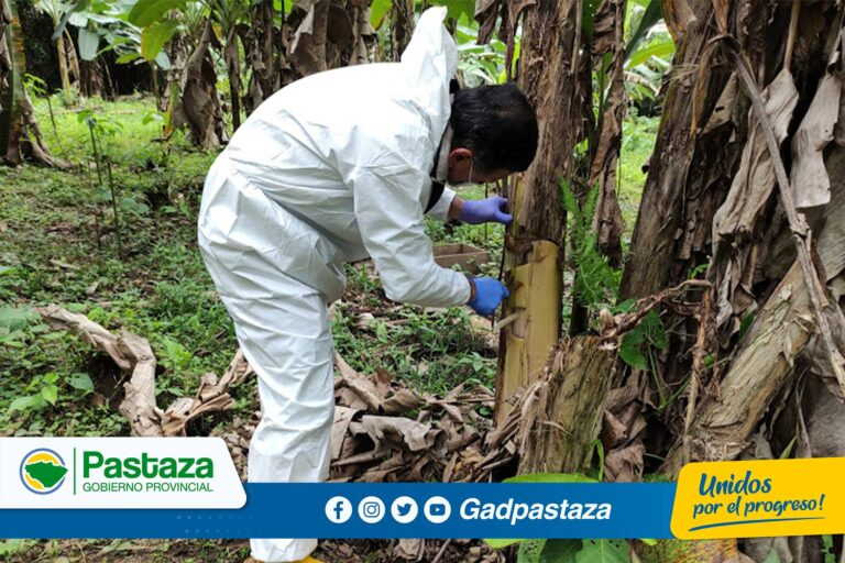 ¡En Arajuno se realiza control de plaga en plantaciones de plátano!